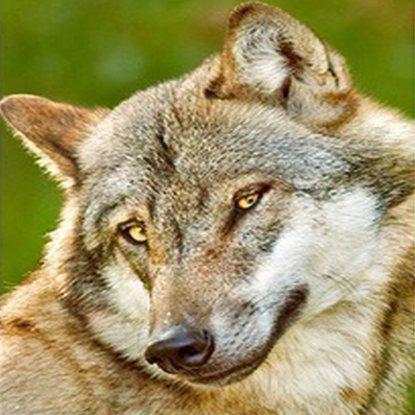 Обложка «Волк и семеро свиней»